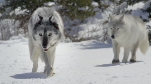 State cancels Pasco, Olympia meetings on wolves over safety concerns on intense issue