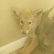 Kennewick homeowner tries to pet coyote in his house