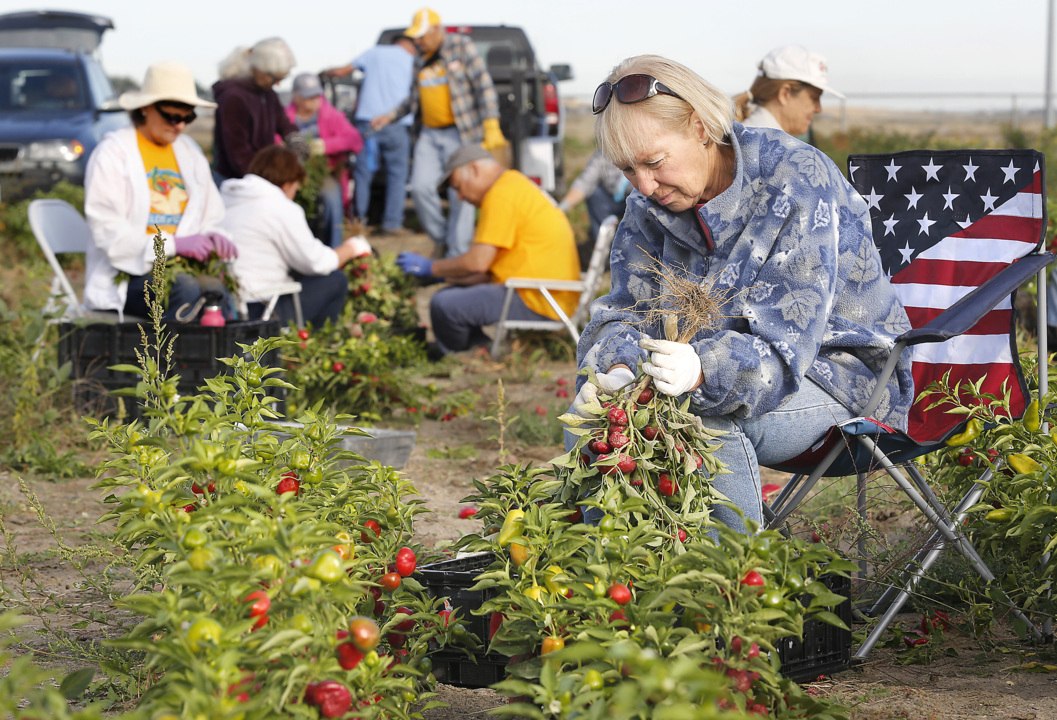 Harvesting for the hungry in Pasco