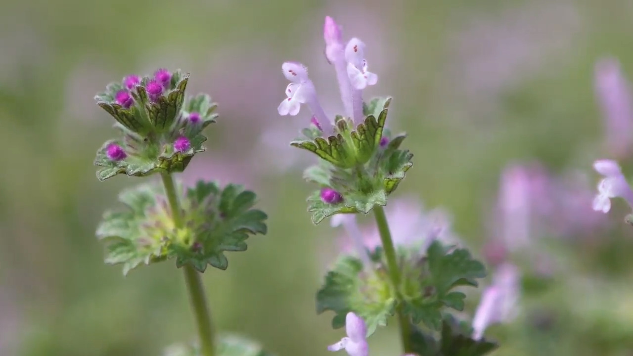 Purple Weeds Seem To Have Overrun Wichita Yards This Spring The