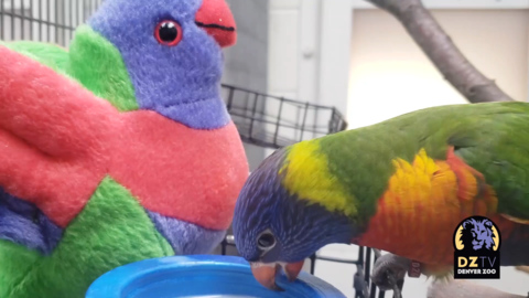 Denver Zoo's 'Chuck Norris' parakeet cuddles up to stuffed toy