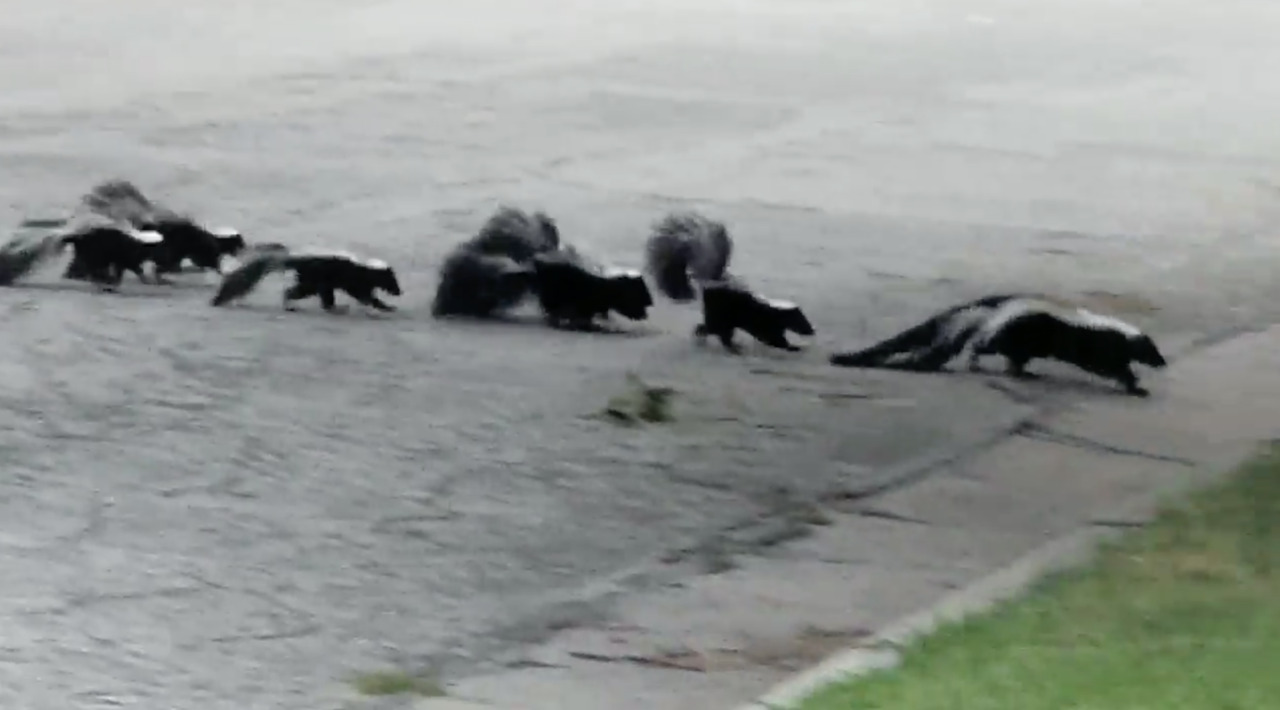 It's September, and skunks are reminding humans and pets whose Wichita it is