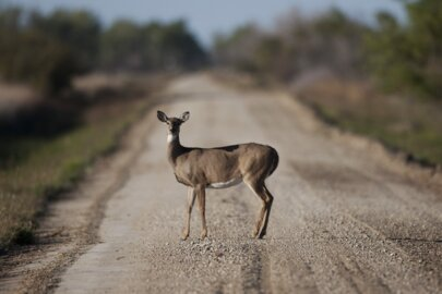 What to do if you hit a deer