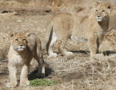 Baby lions on display at Sedgwick County Zoo