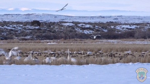 Thousands of swans winter in this Idaho wildlife area. Here's where to see them.