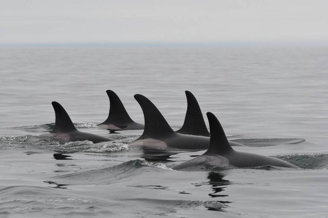 Fate of Pacific Northwest orcas tied to having enough Columbia River salmon