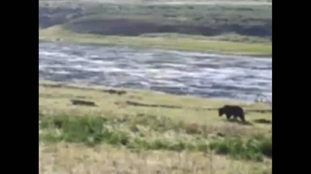 Idaho grizzly wandering south into territory where bears were last seen in 1932