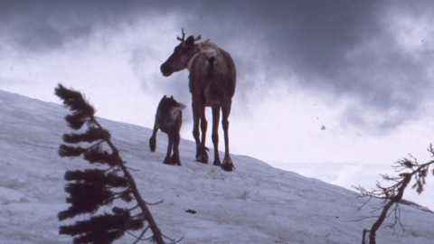 What extinction in Idaho looks like: Last caribou captured, ending conservation program
