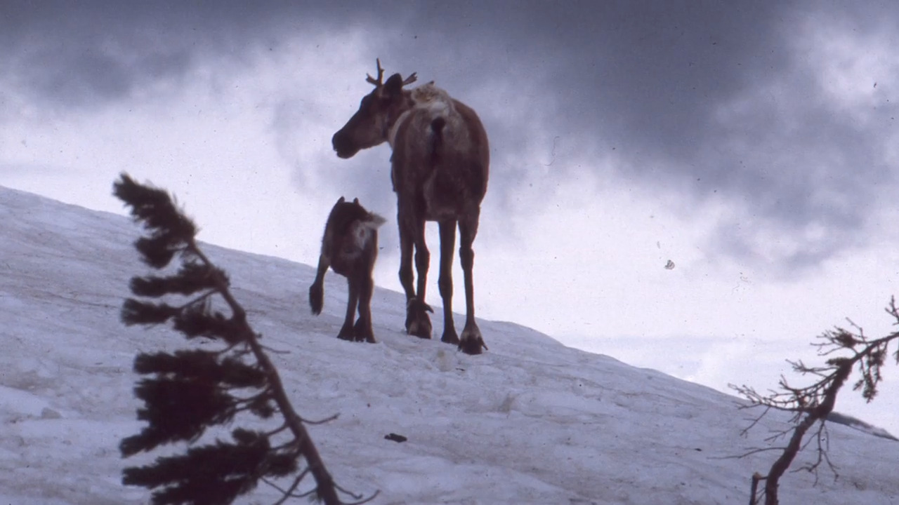 U.S. Fish and Wildlife Service lists mountain caribou as endangered. But is it too late?