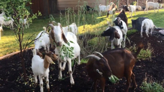 Rental goats escape into Boise neighborhood