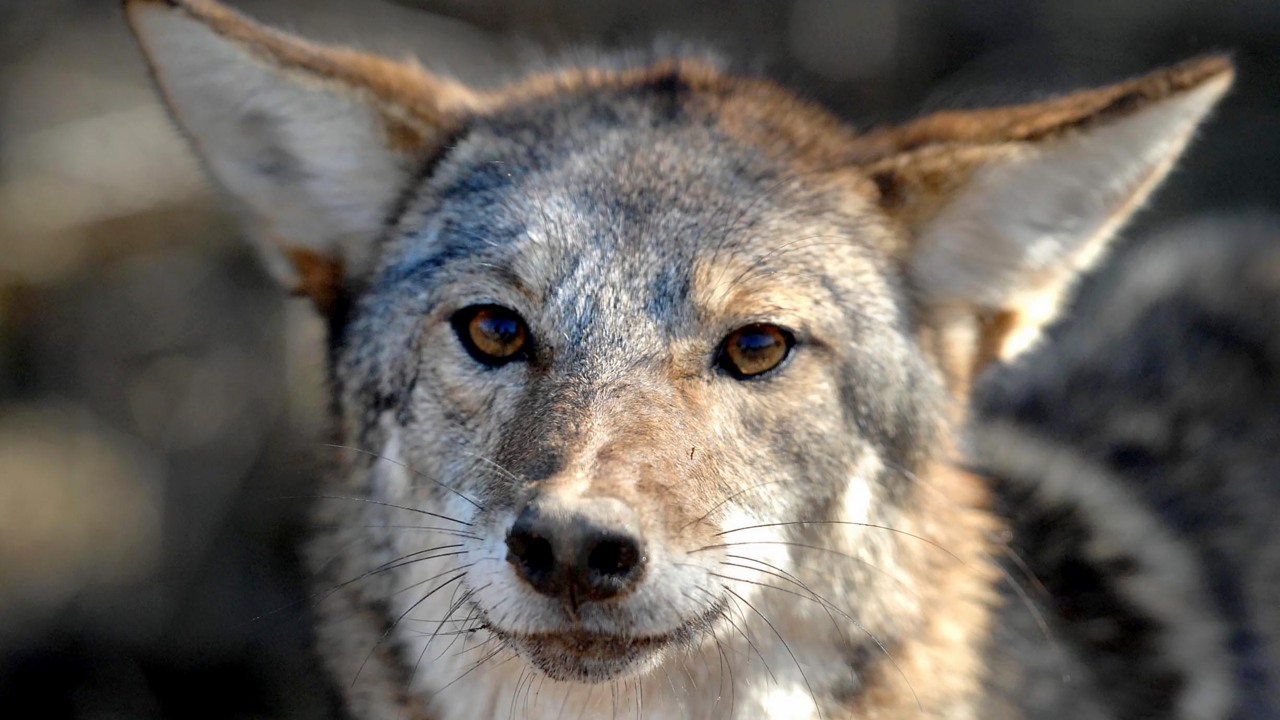 How many coyotes are in NC? CuriousNC goes a-hunting for answers.
