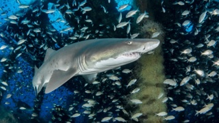 Sand tiger sharks use shipwrecks for homes in North Carolina's 'Graveyard of the Atlantic'