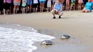 Rehabbed sea turtles return home to the Atlantic Ocean on NC's Outer Banks