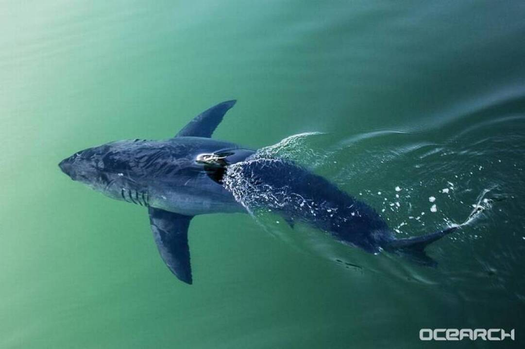Great white sharks 'converging' off Carolinas. Warm winter is a factor, expert says