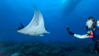 First manta ray nursery ground found outside Gulf of Mexico by California researchers