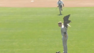 Bald Eagle comes in for landing on Mariners pitcher's shoulders during national anthem