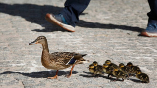 Mothers Day feels: Mama duck paces and quacks as firefighters save ducklings