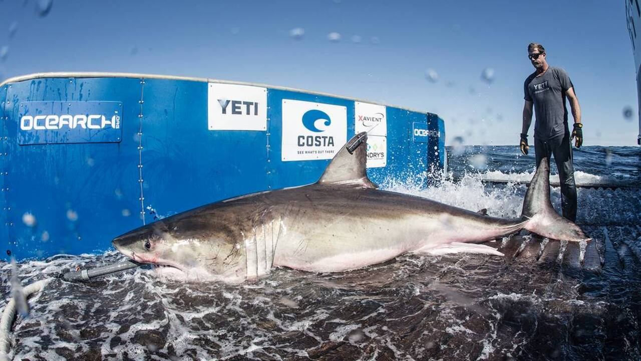 For the first time, a great white shark is tracked through Long Island Sound