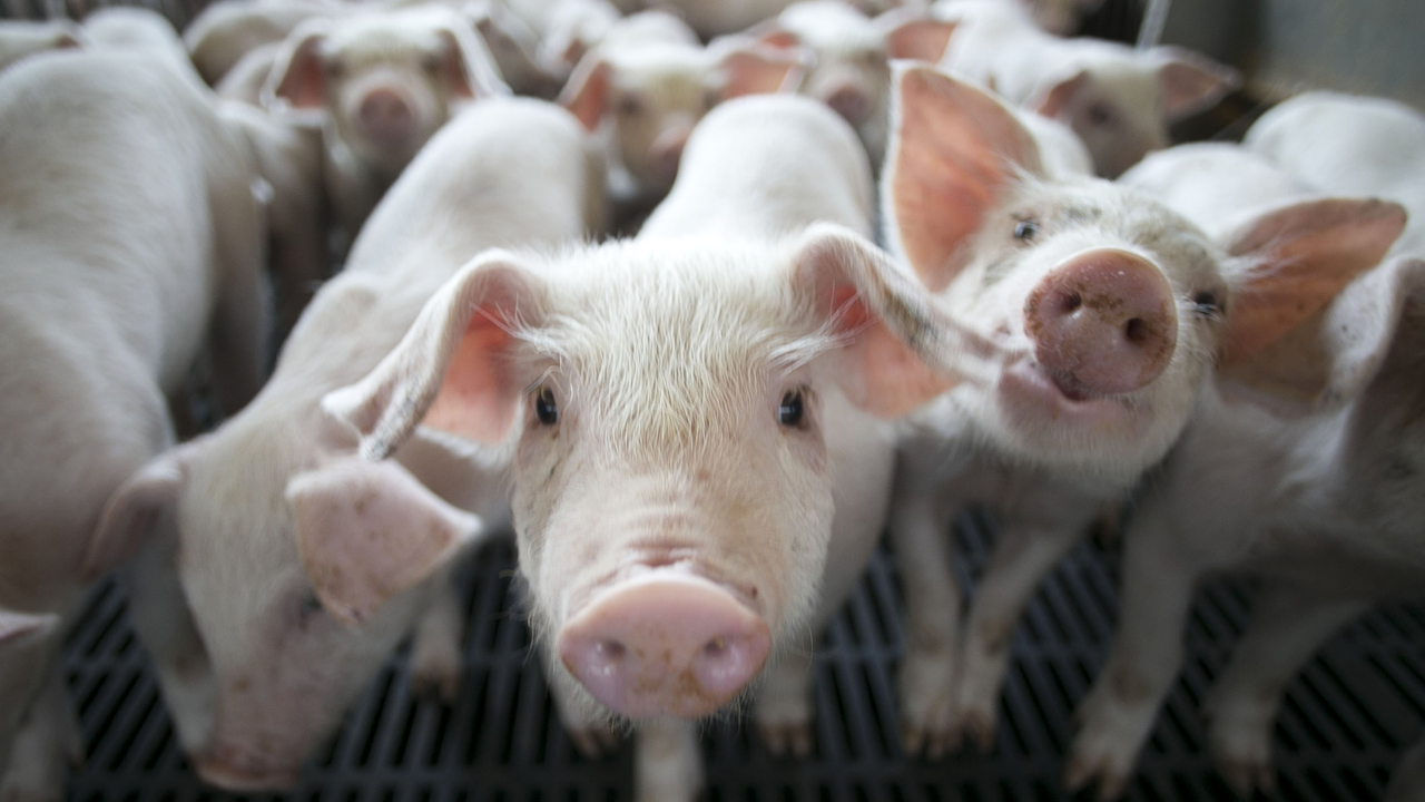 African Swine Fever North Carolina S Pig Farmers Watch Nervously