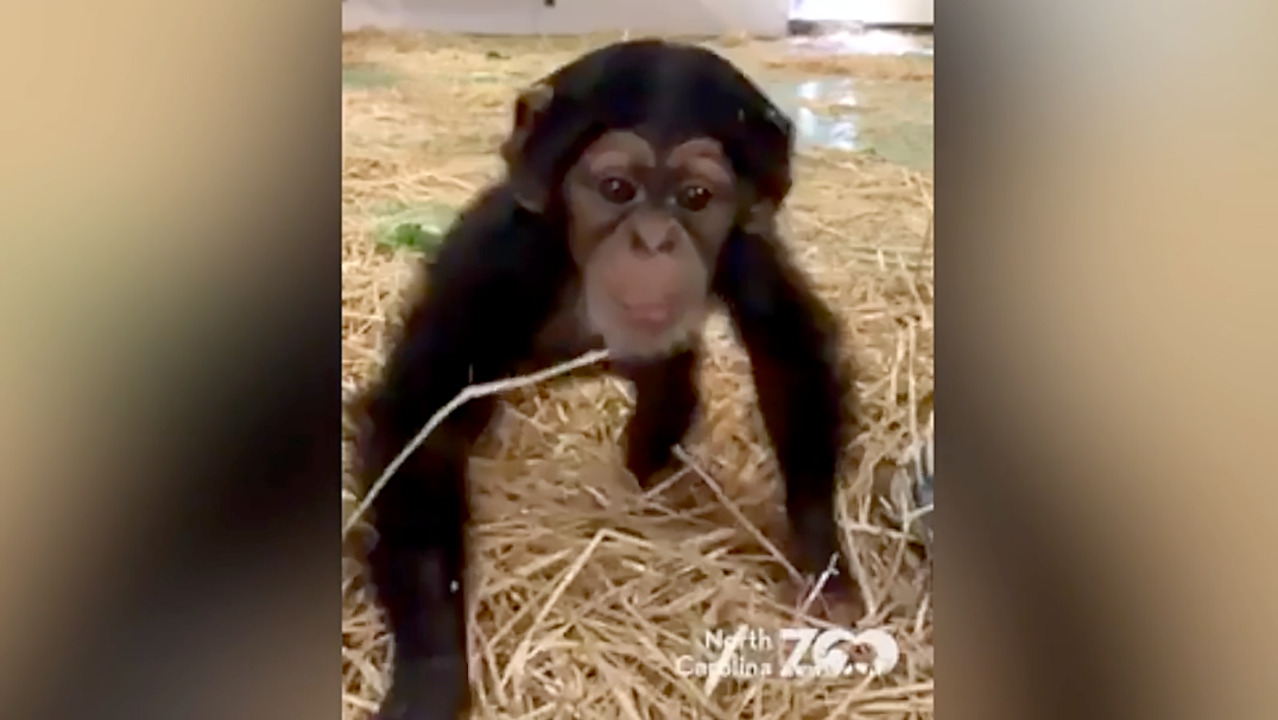 Obi the baby chimp is starting to walk on his own at an NC zoo, adorable video shows