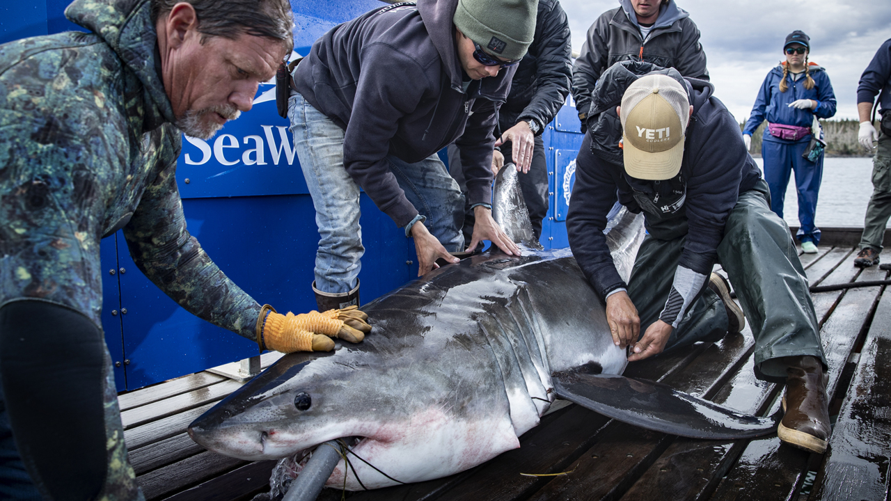Experts puzzled as 10-foot great white shark stays a month in one spot off East Coast