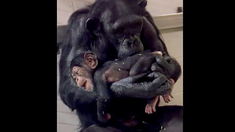 What's in the water at the North Carolina Zoo? Yet another baby chimp is on the way