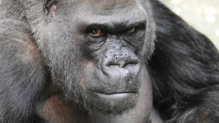 Ramar the gorilla received specialized care in his golden years