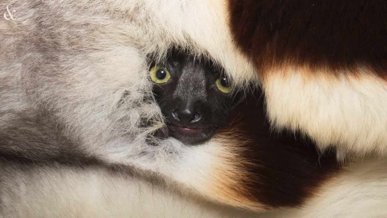 Oops! Birth control failed, and now there's a baby lemur in NC, center says