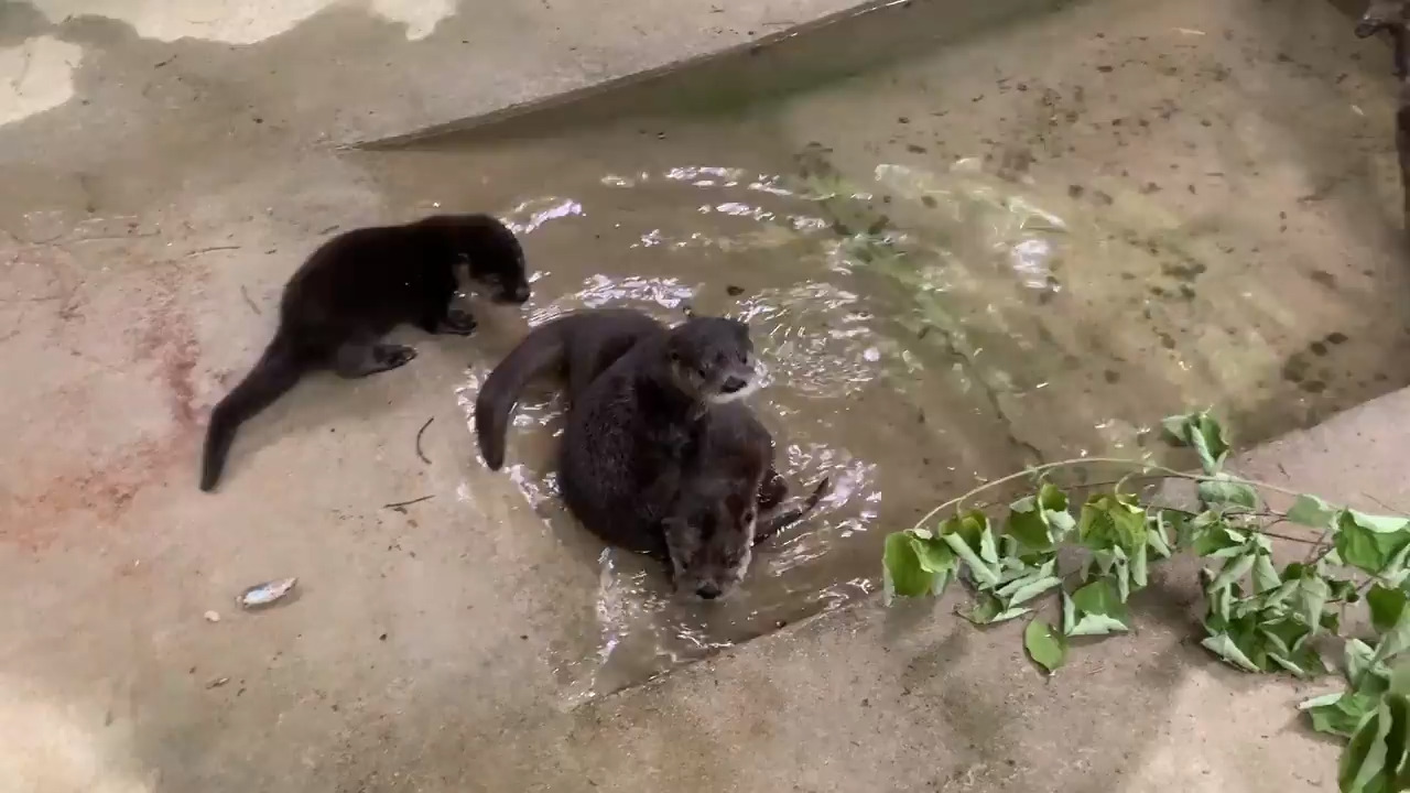 Three orphaned baby otters play together in heartwarming video at North Carolina Zoo