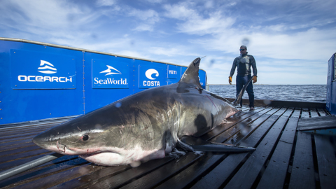 Growing cluster of huge sharks tracked off Outer Banks. More expected, researchers say