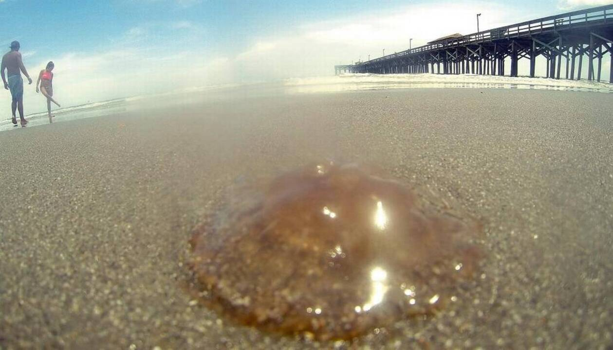 Giant 'cannonball' jellyfish in Myrtle Beach, followed by