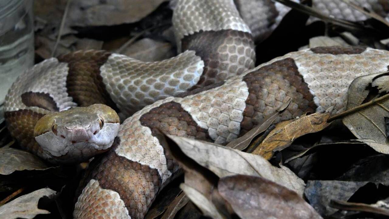 Poisonous / venomous snakes in North Carolina with photos