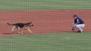 Runaway dog turns minor league baseball event into a big game of fetch