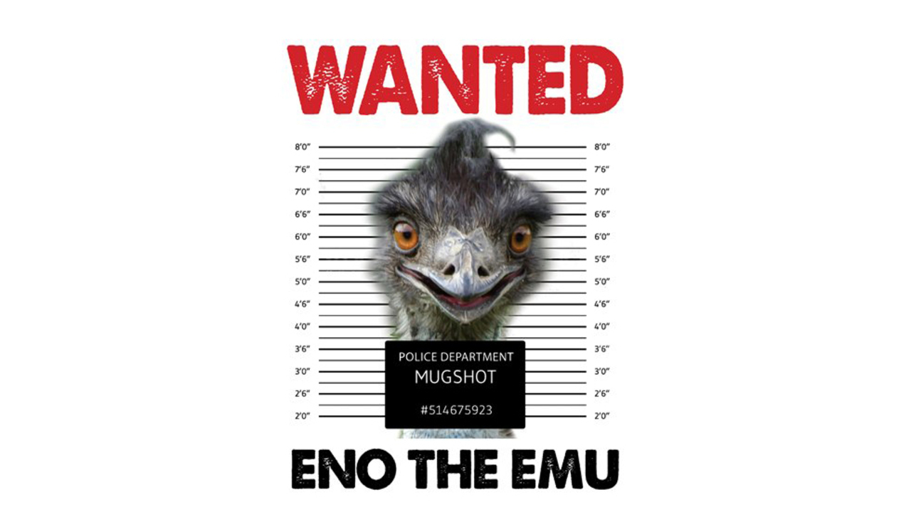 See Eno run: Emu sightings grow as bird outraces authorities in Hillsborough