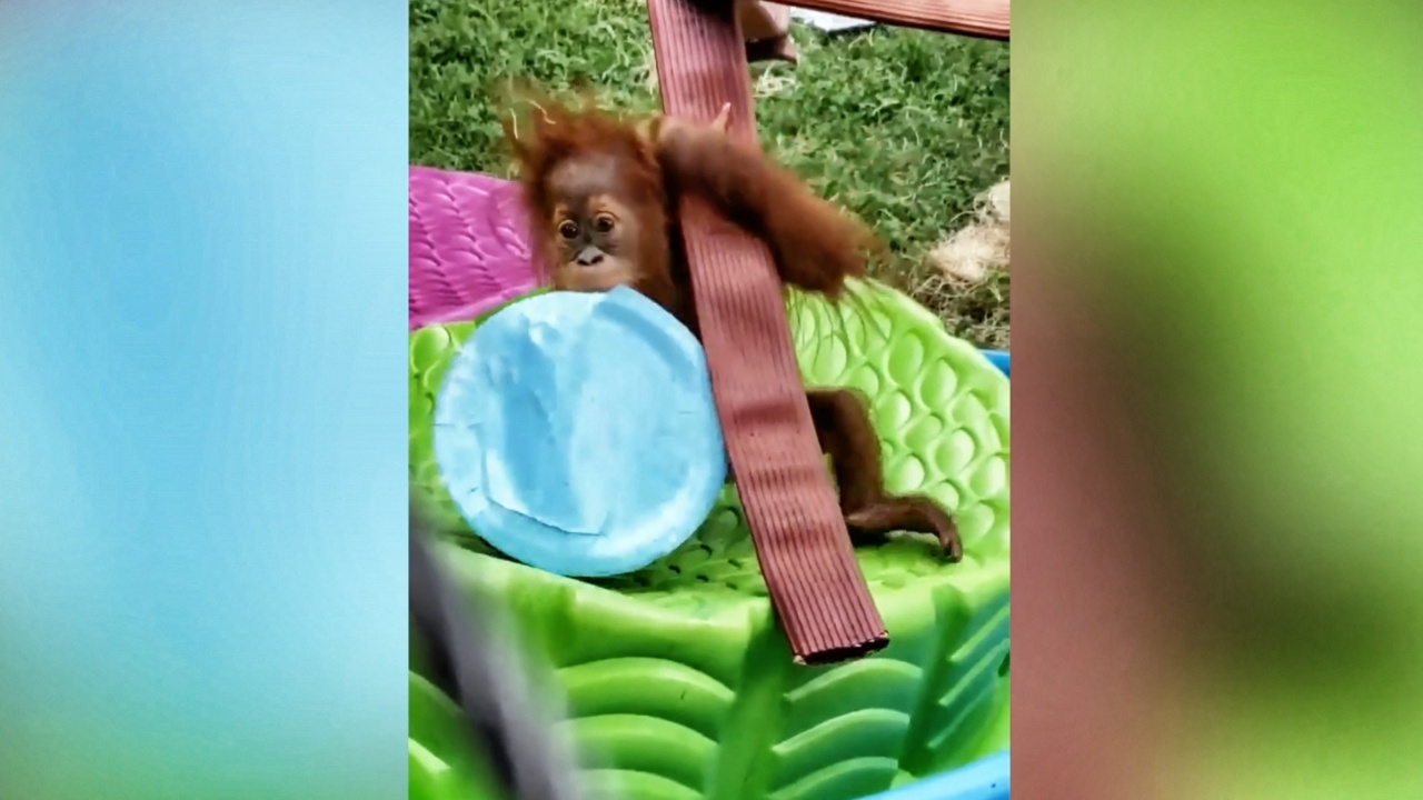 What to get an orangutan for her birthday? Fruity cake and a kiddie pool, SC zoo says