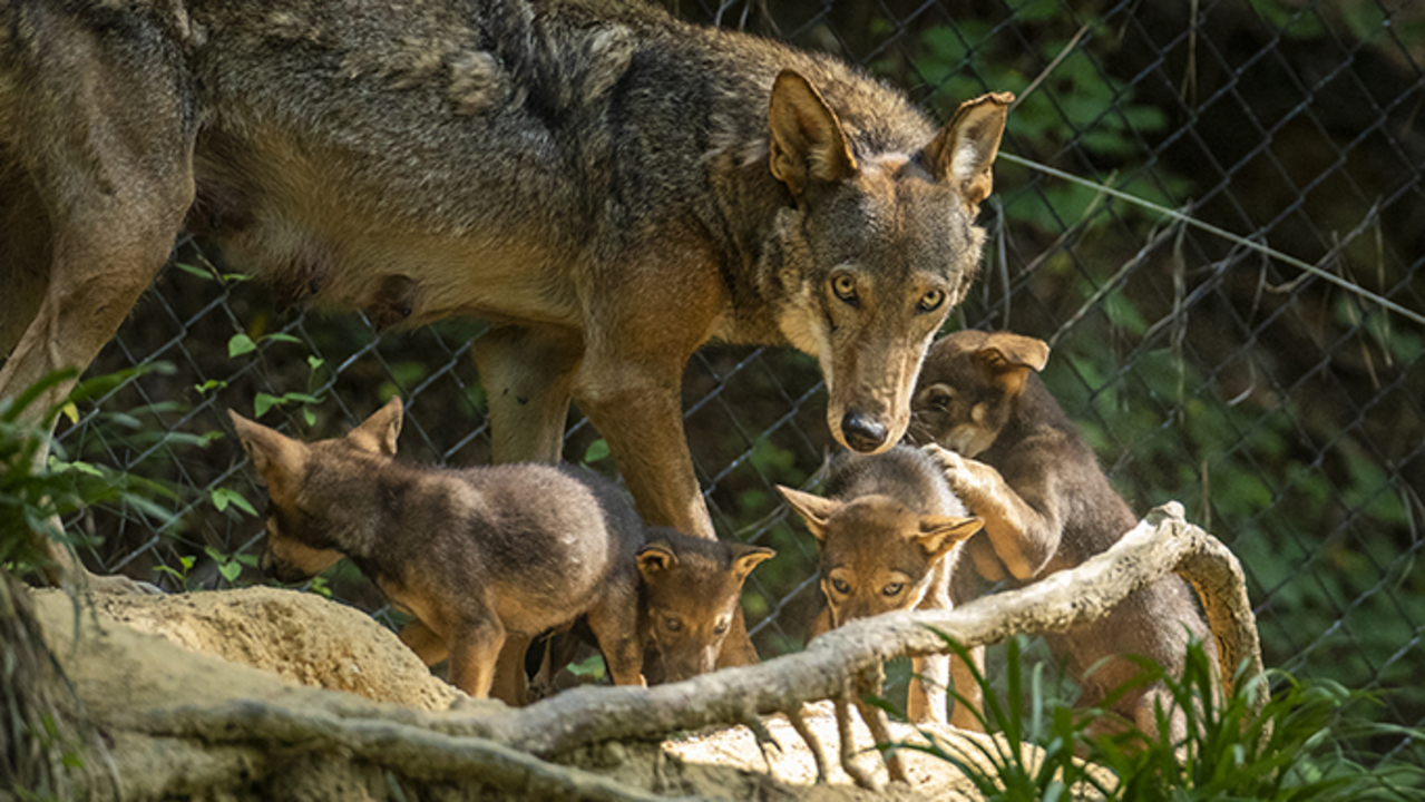 Love is in the air – and red wolf conservationists are taking note
