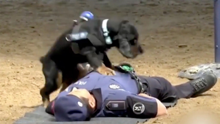 This video of police dog simulating CPR could make your day