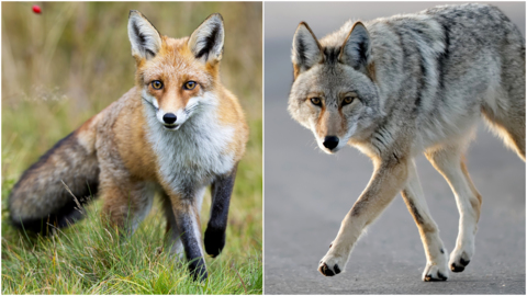 Is that coyote or a fox in your backyard? Here's how to tell.