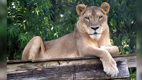 Sheba the lion dies from sweltering heat in North Carolina, wild cat sanctuary says