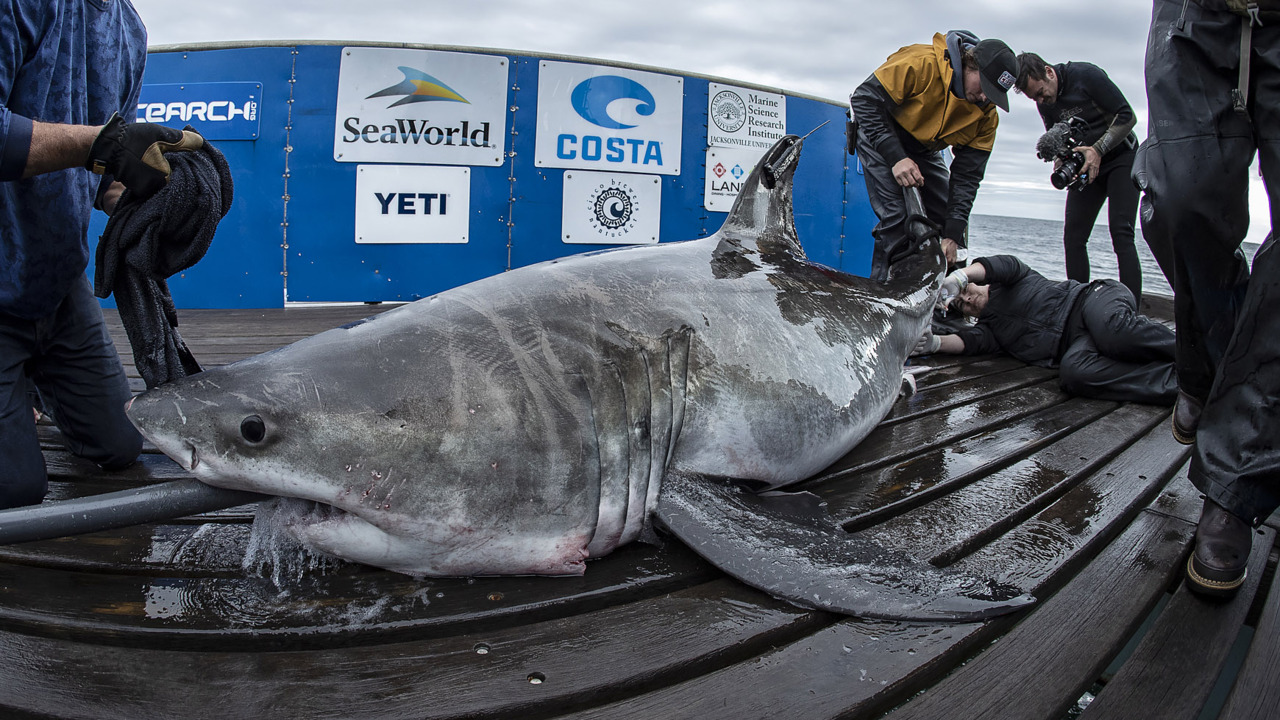 Did a 500-pound great white shark just show up on the wrong side of the Outer Banks?