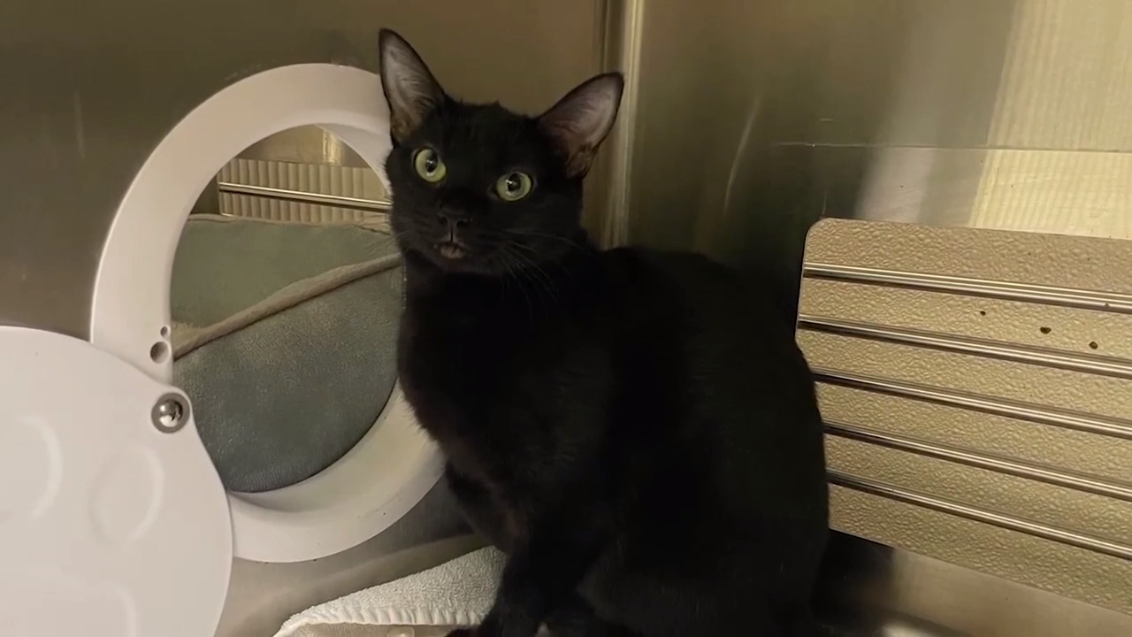 Can you train a cat? NC shelter boosts adoptions with 'My Cat From Hell' host's help