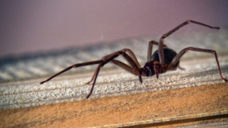 How to identify dangerous spiders in the Carolinas