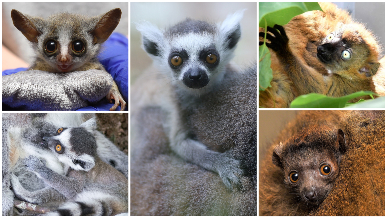 Oh babies! Duke Lemur Center celebrates five new infants and the reopening of tours.