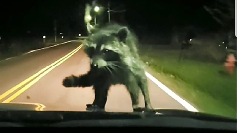 Raccoon takes a ride on the hood of a car