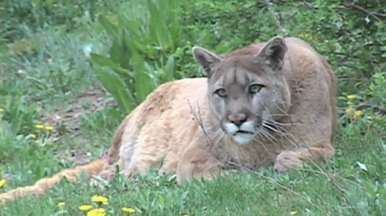 Cougar extinct: Eastern puma declared extinct by US Fish and ...