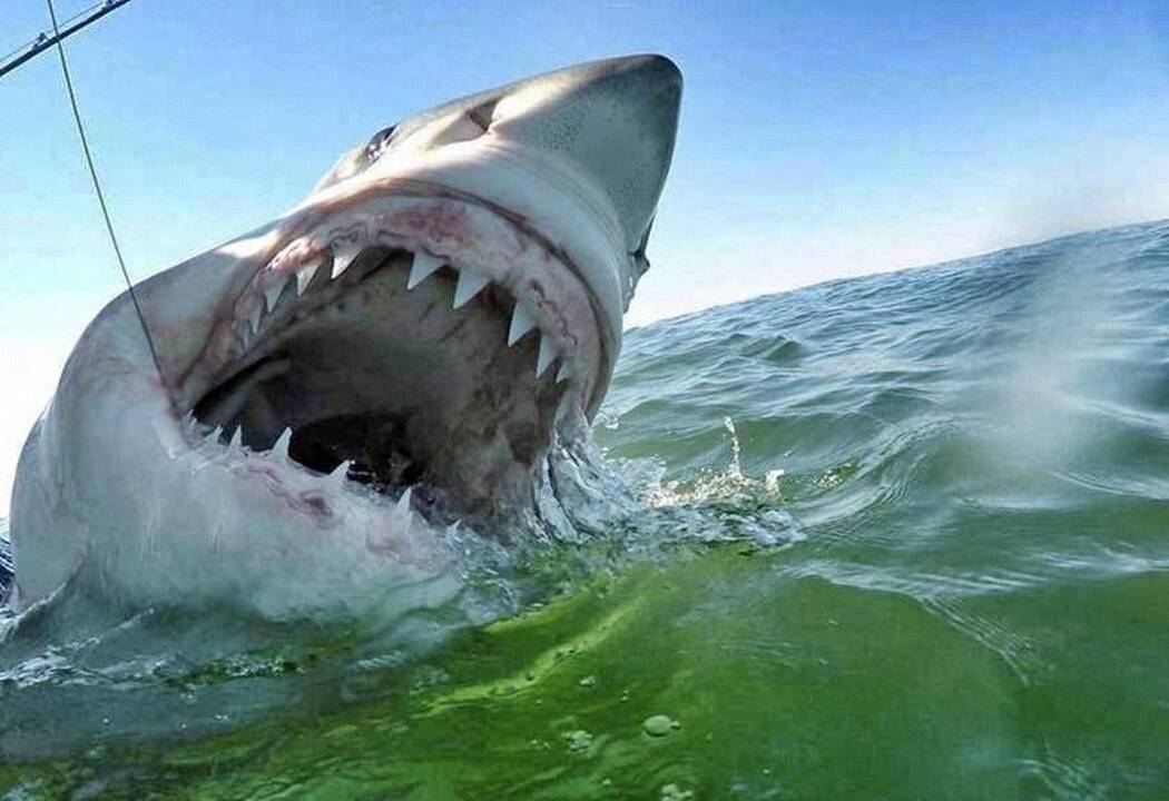 great white sharks tracked off nc beaches news observer