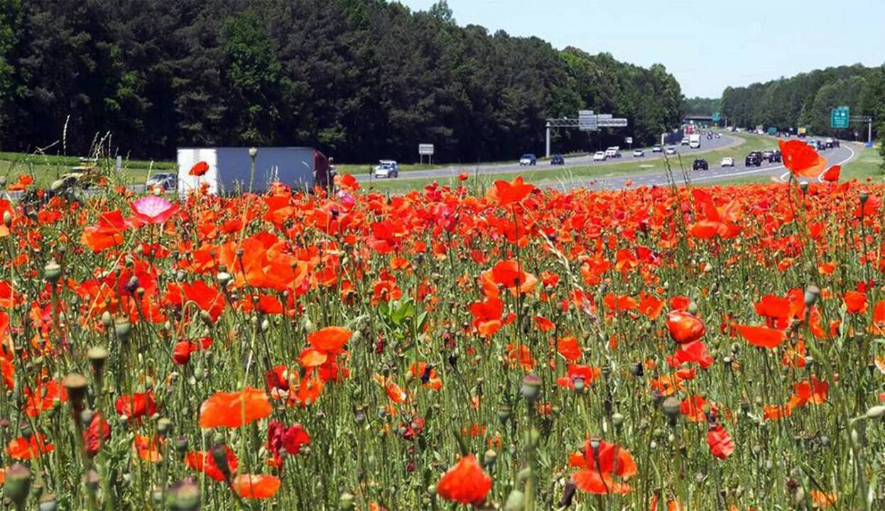 Red Poppies Bloom Along Nc Highways In Honor Of World War I News