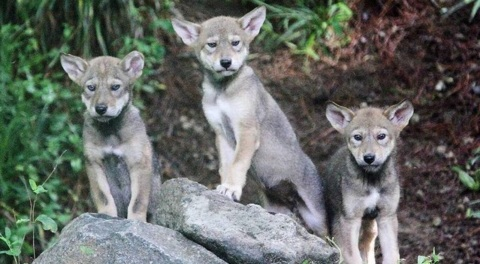 How are endangered red wolves doing in the wild in NC? Feds won't tell, lawsuit says