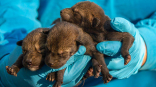 NC Museum of Life + Science staffers work with rare newborn red wolf pups