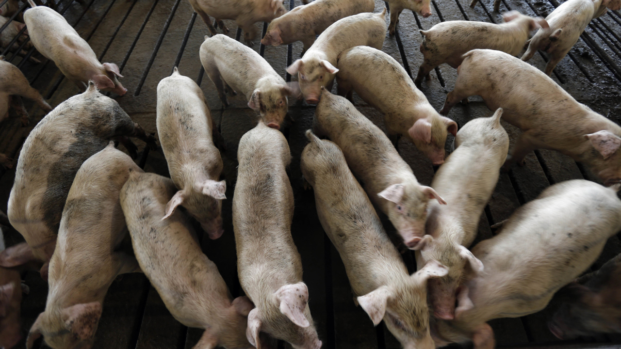 Florence kills 3 4 million chickens, 5,500 pigs in NC